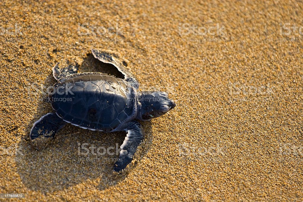New born Caretta (loggerhead) sea turtle crawling on golden sands stock photo
