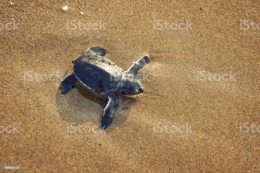 New born caretta (loggerhead) sea turtle stock photo