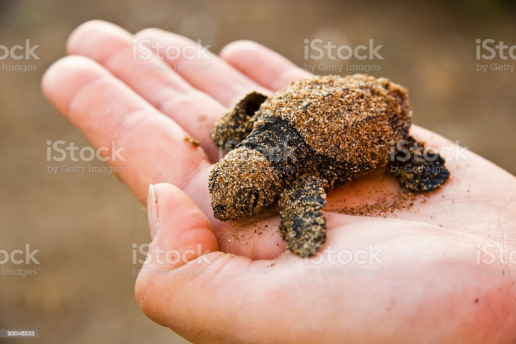 New born Caretta (loggerhead) sea turtle royalty-free stock photo