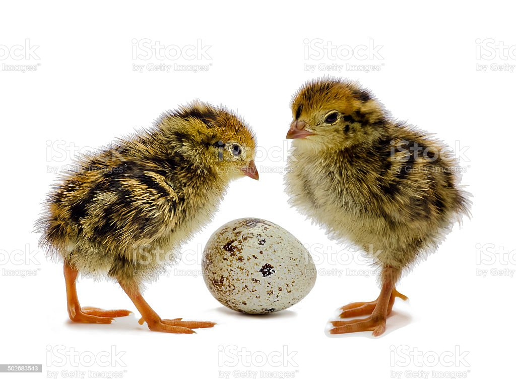 New born chicks of quails are waiting for sibling stock photo