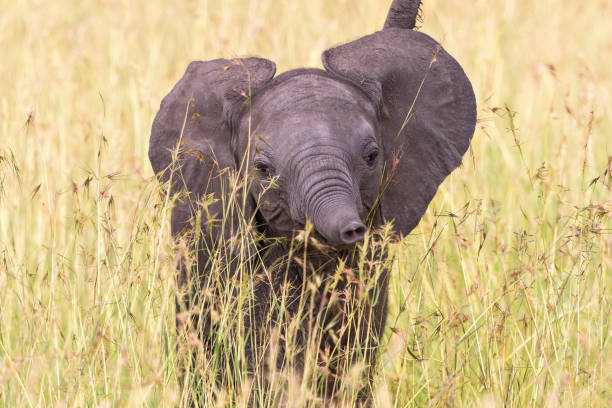 New born elephant calf in the grass New born elephant calf in the grass elephant calf stock pictures, royalty-free photos & images