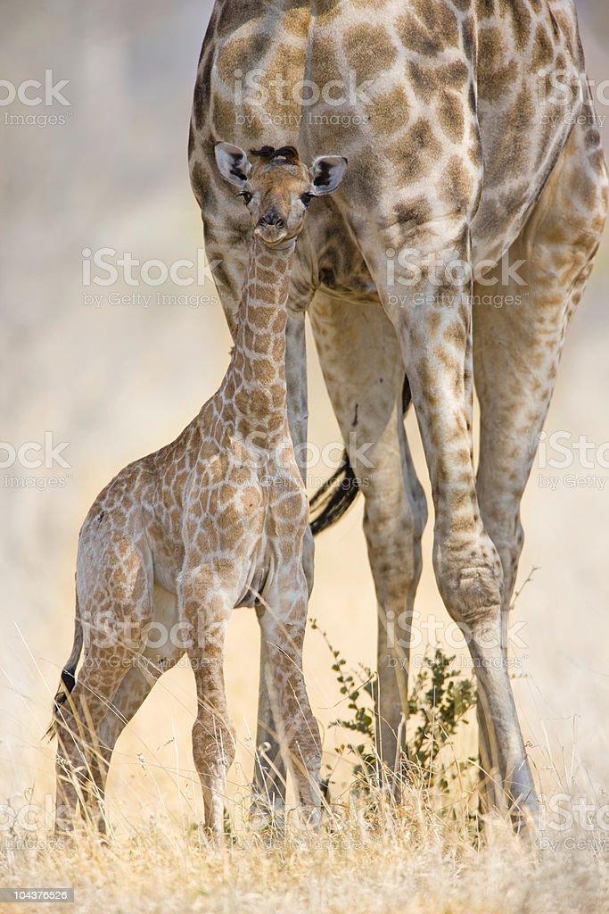 Neu geboren Giraffe – Foto