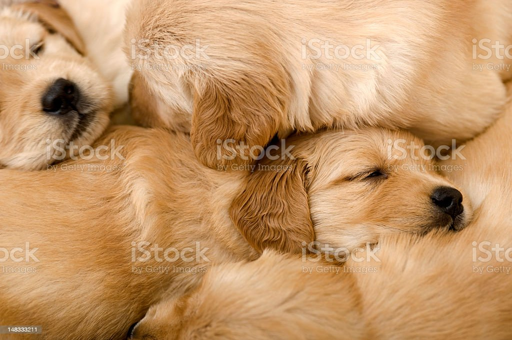 New born Golden retriever puppies sleeping on each other stock photo