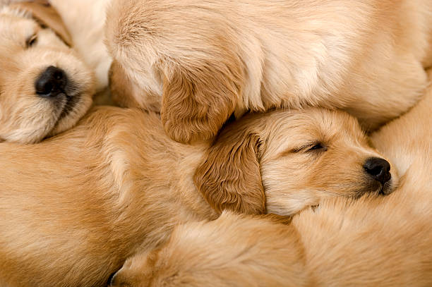 golden retriever chiots dormir sur les autres - jeune animal photos et images de collection