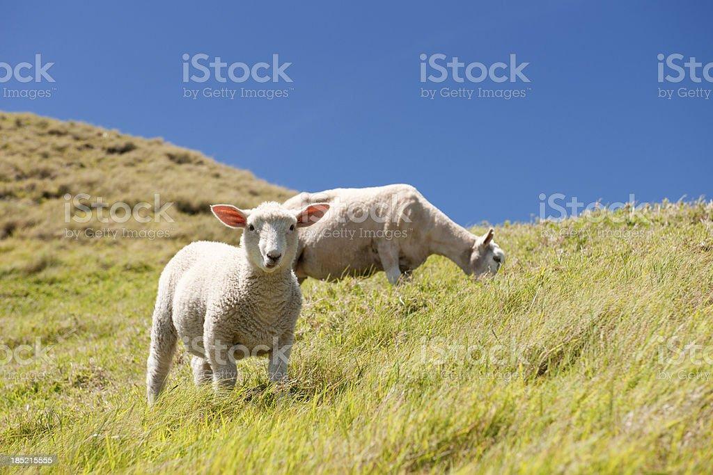 New Born Lamb and Mother Sheep (XXXL) royalty-free stock photo