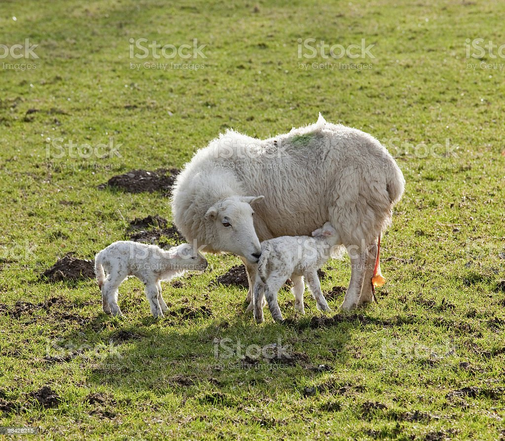 New born lamb twins with mother royalty-free stock photo
