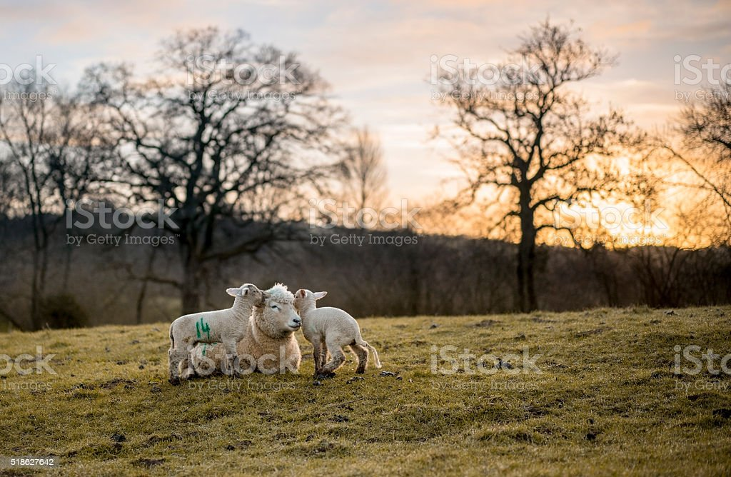 New Born Lambs and Ewe. stock photo
