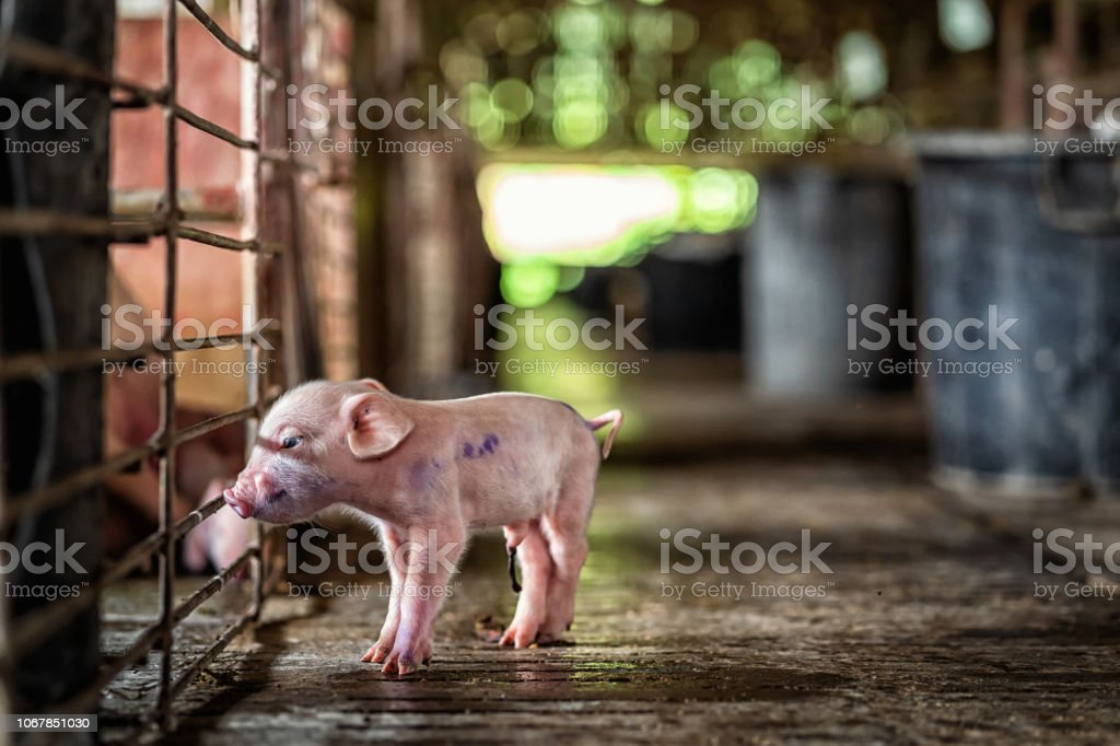 new born pig in hog farms, animal and Pig industry
