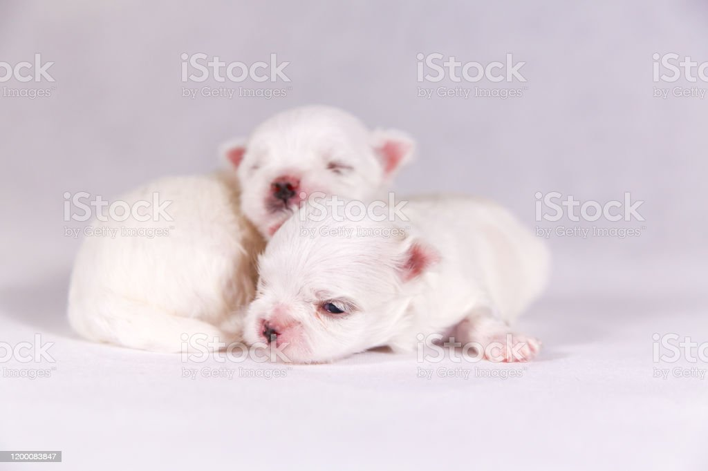 New Born Puppy Dog Maltese Puppy On The Sleeping Selective Focus On The Face With Blurred Background Stock Photo Download Image Now Istock