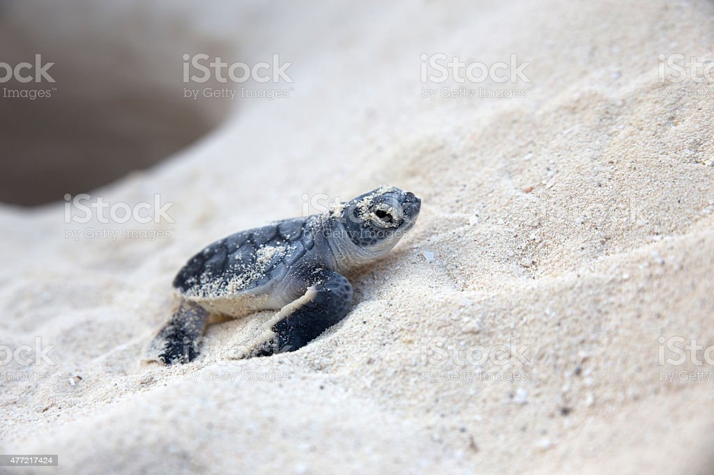New born sea turtle coming out from nest stock photo