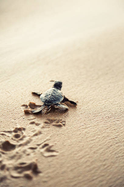 New born sea turtle stock photo