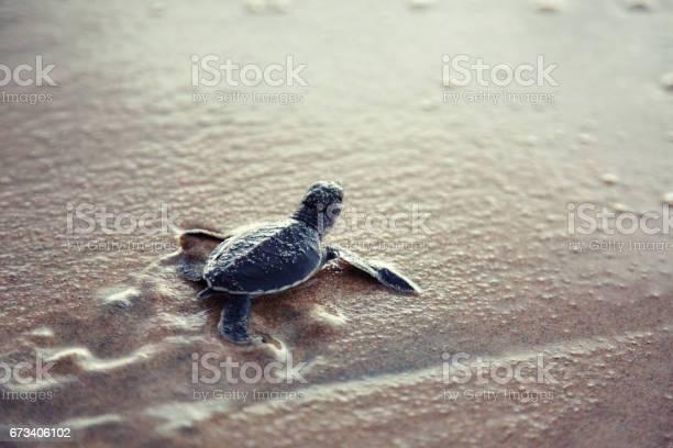 New born sea turtle picture id673406102?b=1&k=6&m=673406102&s=612x612&h=rnmuohm xxrqrifcwfcizizackxkwikxi9es7pz8 qo=