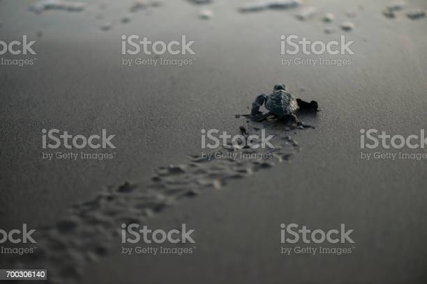 New born sea turtle picture id700306140?b=1&k=6&m=700306140&s=612x612&h=aw u9gf45ujzfh1xj1wmts92wd8orse4x ht5cinko4=