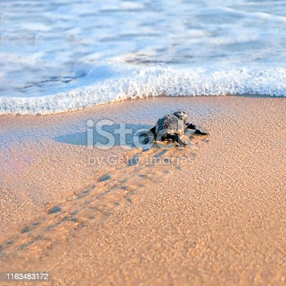 New born sea turtle walking to the sea