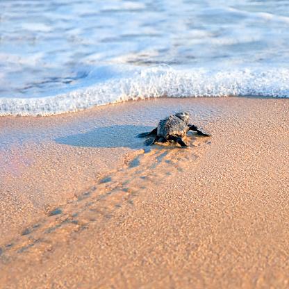 New born sea turtle walking to the sea