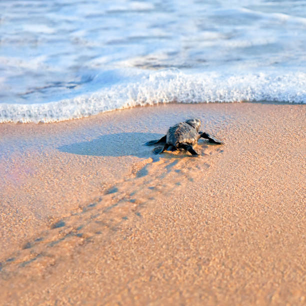 new born sea turtle walking to the sea - tartaruga marina foto e immagini stock