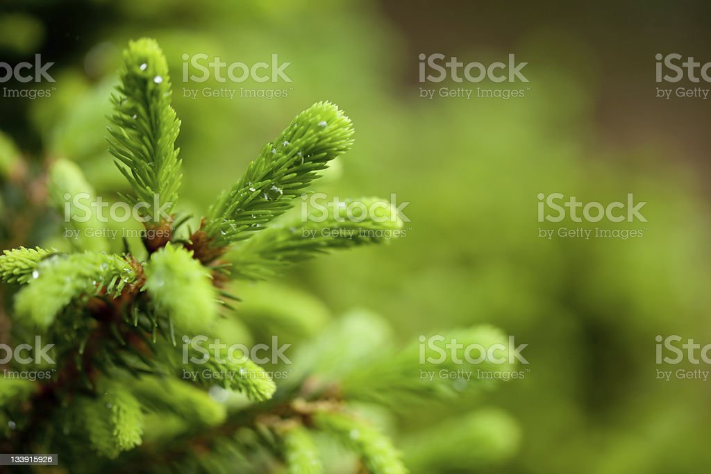New buds of a Spruce tree against a blurry green tree ground royalty-free stock photo