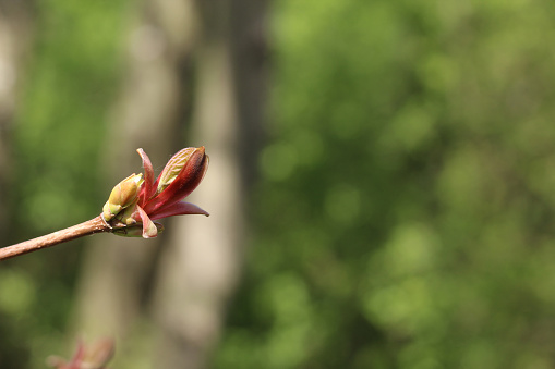 New buds on a tree growing in the wild. Taken under natural sunlight in the UK.