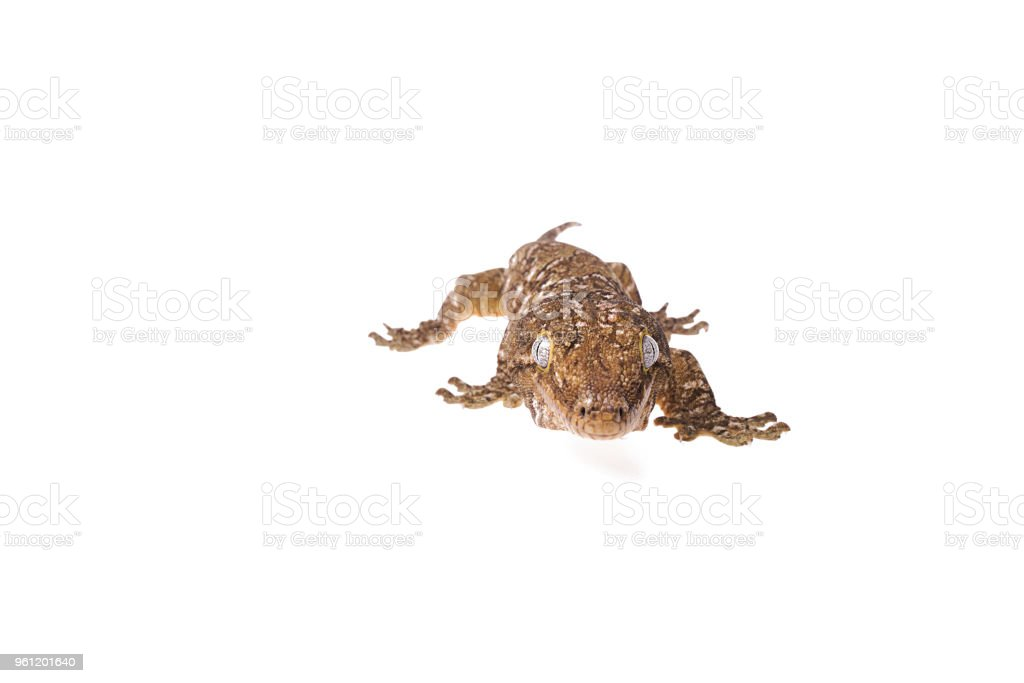 New Caledonian Giant Gecko isolated white background stock photo