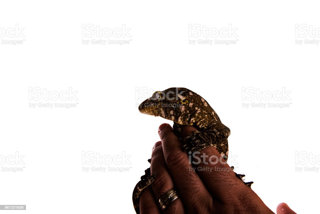 New Caledonian Giant Gecko on hand isolated white background stock photo