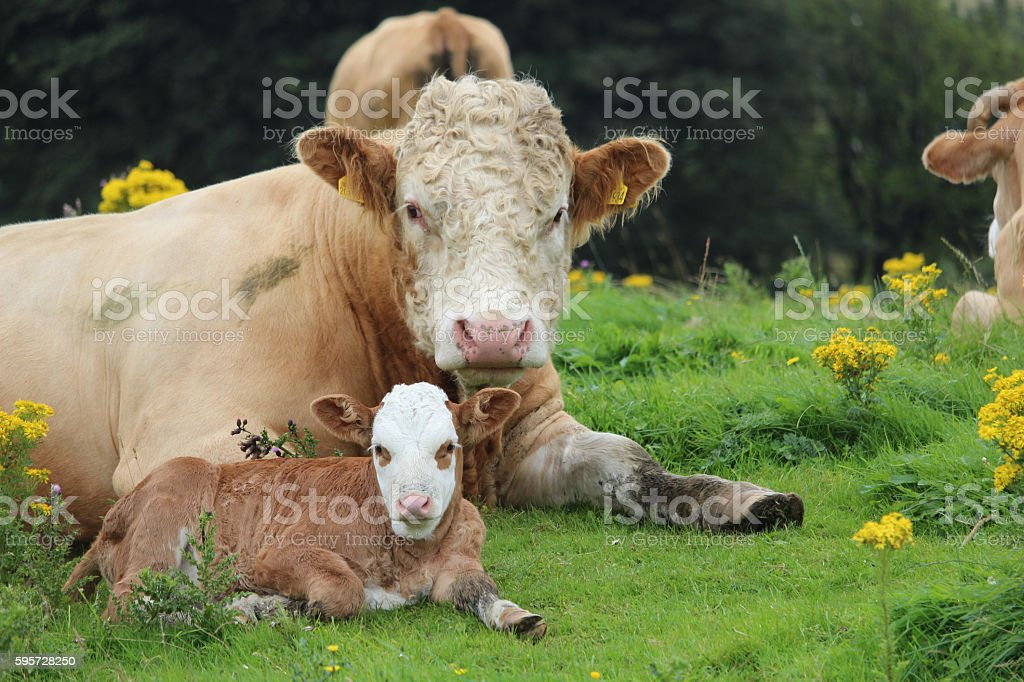 New calf stock photo