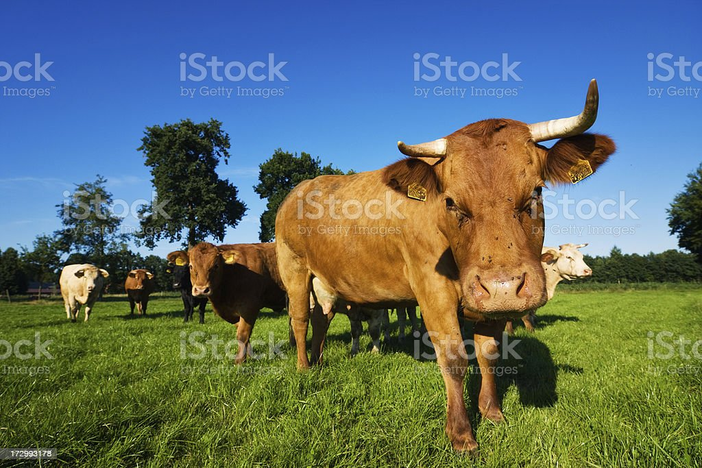 New Cow Gang II royalty-free stock photo