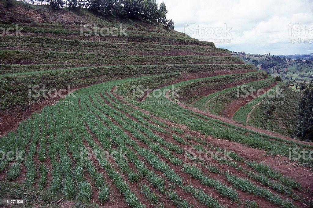 Cultivo De Nuevos Cultivos Agrícolas Terrazas Built1980s