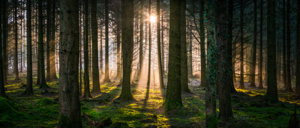 New day dawns in idyllic forest golden light woodland panorama Beams of early morning sunlight streaming through the pine needles of a green forest to illuminate the soft mossy undergrowth in this idyllic woodland glade. glade stock pictures, royalty-free photos & images