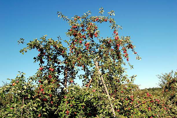 New England Apple Orchard