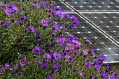 istock New England Aster in a butterfly garden against a backdrop of solar panels on a bright summer's day. 1272885296