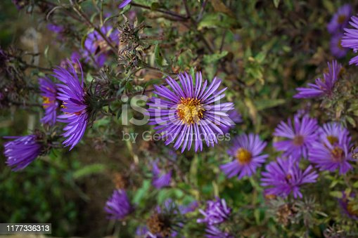 New England aster in an early autumn garden. Known as Symphyotrichum novae-angliae, hairy Michaelmas-daisy, or Michaelmas daisy, it is a species of flowering plant in the aster family.