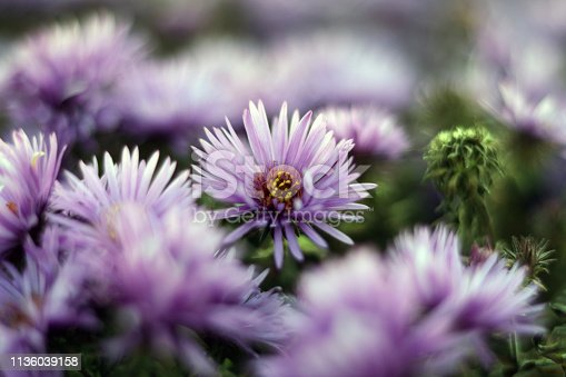 Late season blooming New England Aster. Mid-frame with Bokeh.