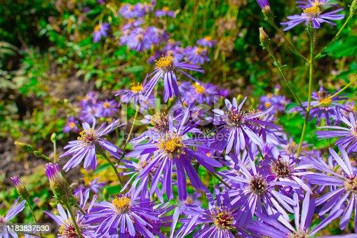 Aster Novae-Angliae Flowers against Green