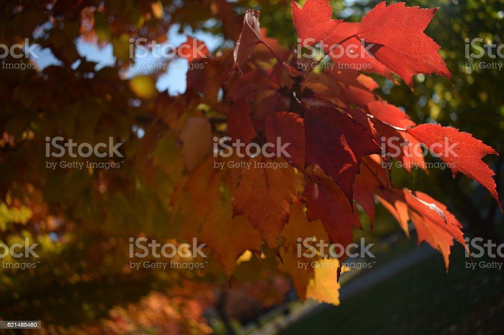 New England fall leaves - a close-up photo libre de droits