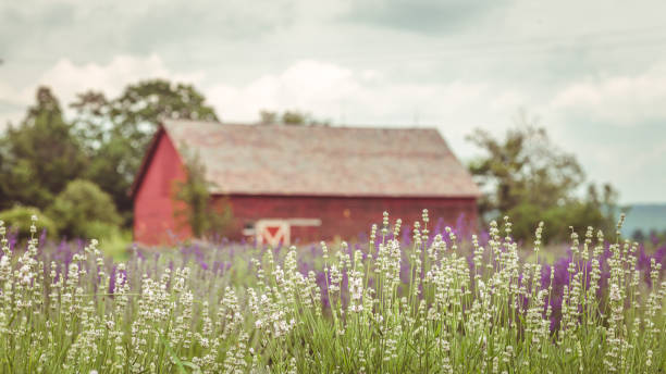 New England Lavender Summer stock photo