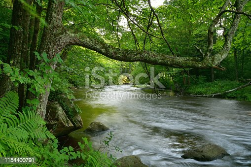 Red oak reaching over a New England river into the light in summer, with a hint of river motion