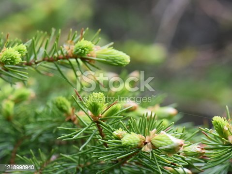 Branches of a spruce tree Picea abies with new foliage growing
