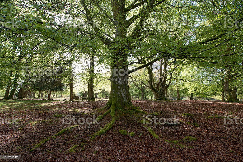 New Forest Beech trees in woodland Near Burley stock photo