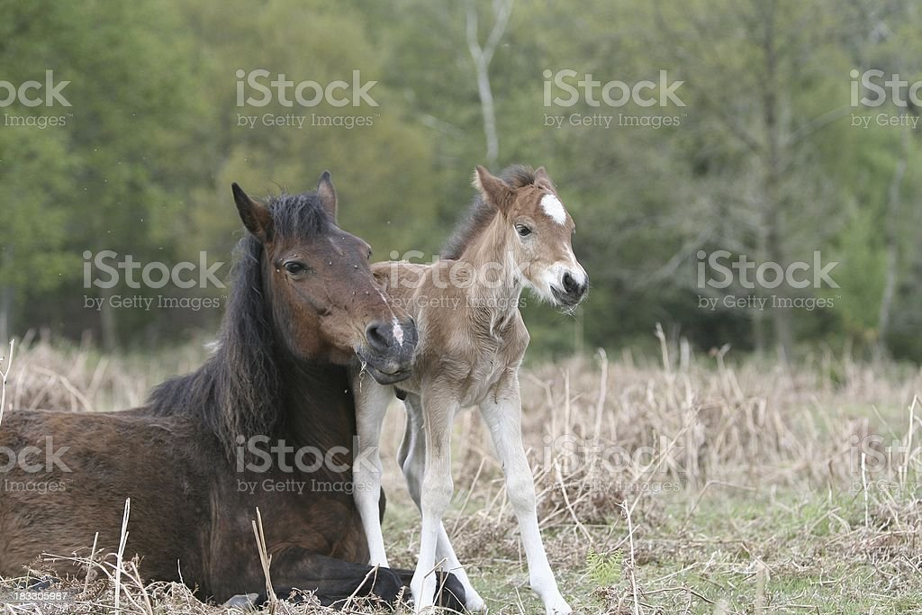 New Forest Foal close to mum stock photo