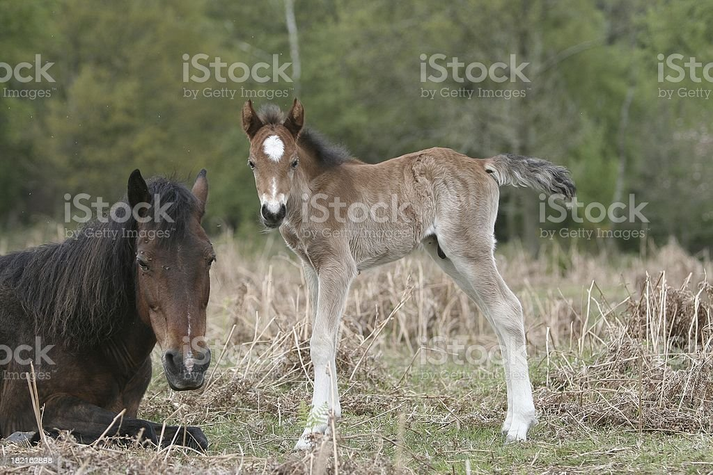 New Forest Foal greeting mum royalty-free stock photo