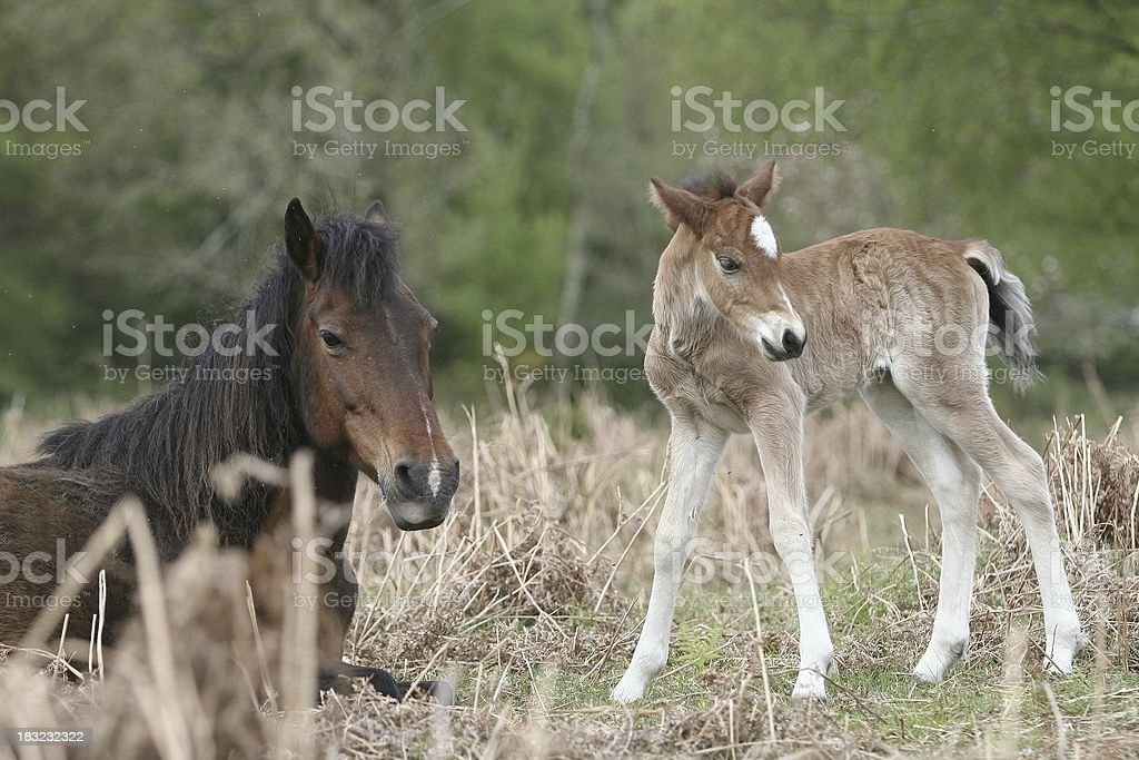 New Forest Foal with its mom royalty-free stock photo