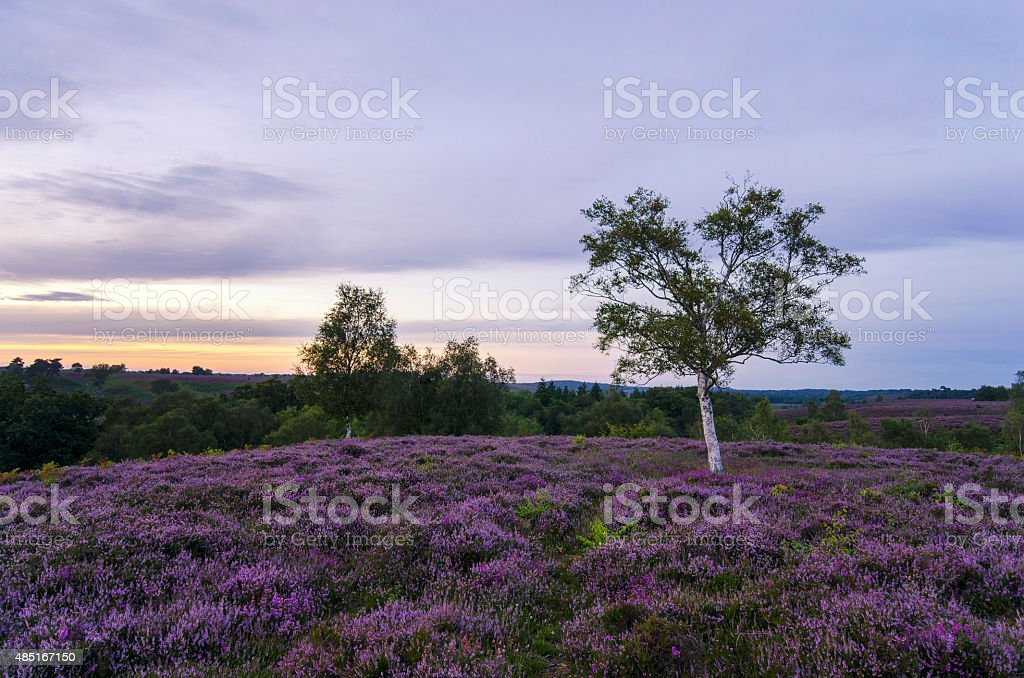 New Forest Heather in Bloom stock photo
