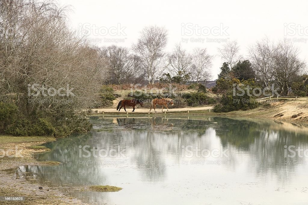 new forest ntional park wild horses walking path beside pond royalty-free stock photo