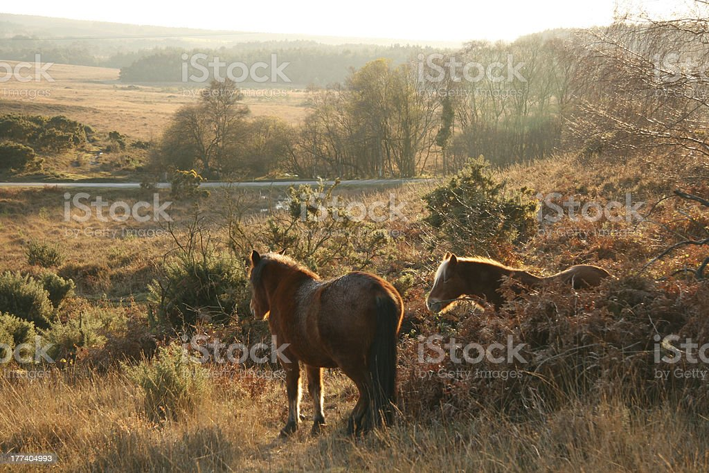 New Forest Ponies bathed in evening light stock photo