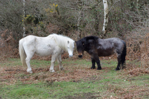 new forest ponies dark and light head to head - whiteway pony stock photos and pictures