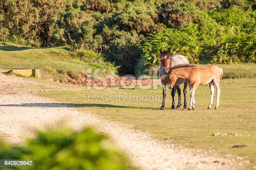 Ponies in the New Forest National Park