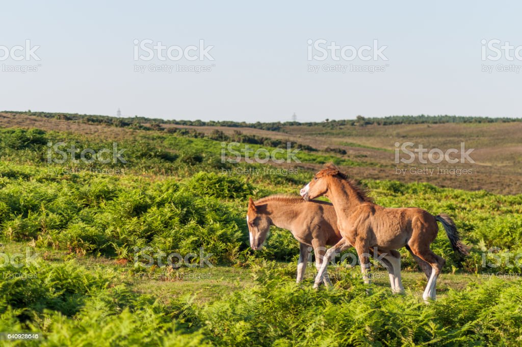 New Forest Ponies stock photo