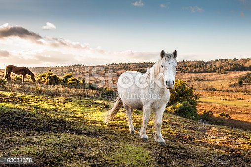 New Forest Horses roam free in the New Forest, Hampshire in England