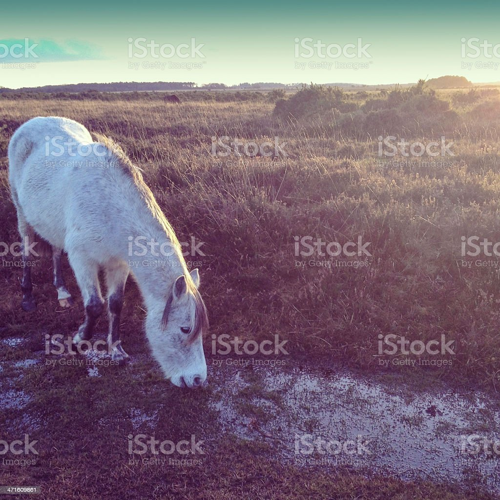 New Forest Pony by a stream stock photo