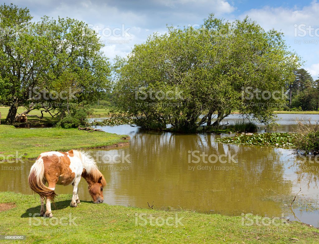 New Forest pony by lake sunny summer day Hampshire England stock photo